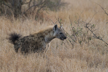 The smile of the Spotted hyena (Crocuta crocuta)