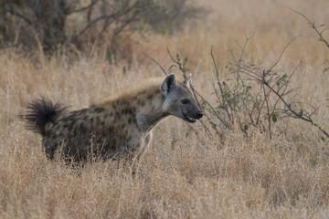 The smile of the Spotted hyena (Crocuta crocuta)