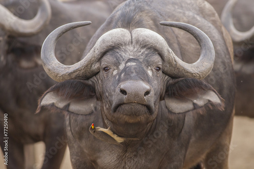 Aluminium Buffel Portrait - Red-billed oxpecker and African Buffalo (Buphagus ery