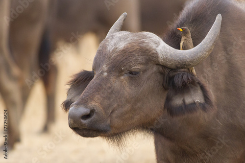 Keuken foto achterwand Buffel Looking in the same direction - Red-billed oxpecker and African