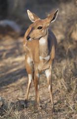 Bushbuck (Tragelaphus sylvaticus)