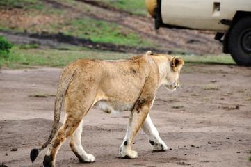 Löwin in der Masai Mara - Kenia