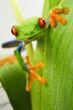 Leinwandbild Motiv Red eye frog