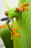 Fotoroleta Red eye frog