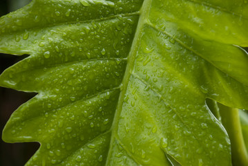 Hawaii Leaf - Closeup