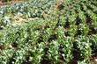 fresh chinese kale vegetable