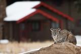 Bobcat in Residential Area