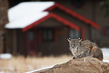 Bobcat in Residential Area