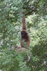 Lar gibbon hanging on the tree