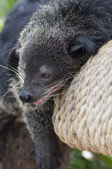 Sleeping black bearcat, Arctictis binturong