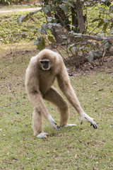 Lar gibbon walking on the ground