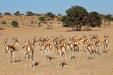 Herd of springbok antelopes, Kalahari desert