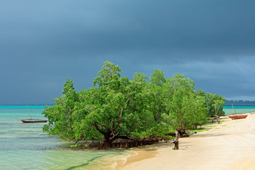 Tropical mangrove trees, Zanzibar island