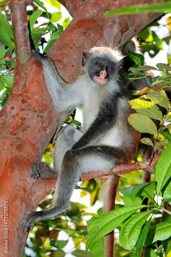 Foto op Canvas Aap Zanzibar red colobus monkey, Jozani forest