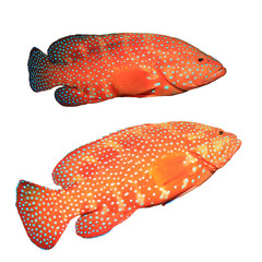 Red coral grouper (hind) fish isolated