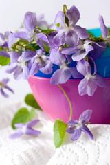 Common Dog Violet - Viola riviniana - spring flower