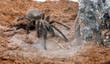 Leinwanddruck Bild - Phormictopus auratus