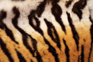 natural pattern on tiger fur