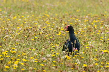 calling purple swamphen on wildflower meadow