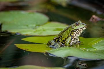 Der Wasserfrosch im Gartenteich