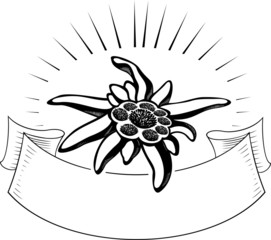 Edelweiss flower, with banner. Vector tattoo illustration