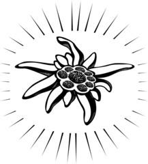 Edelweiss (leontopodium) flower. Vector tattoo illustration