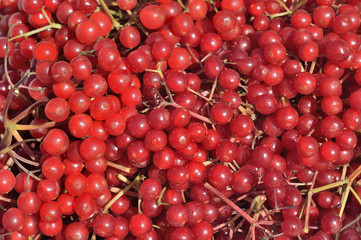 Berries of arrow-wood 17