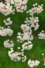 緑に映える桜