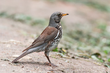 Fieldfare With Insect Prey