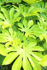 新緑 やつでの葉