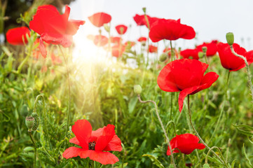 Field with a beautiful decorative red poppy flowers