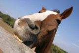 Young horse chewing fence at farm summertime funny scene