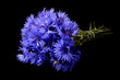 The beautiful cornflower on black background