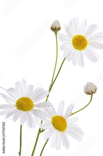 Aluminium Madeliefjes The beautiful daisy isolated on white