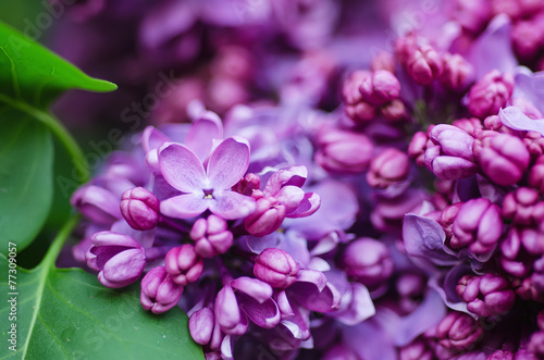 Foto op Canvas Lilac Branch of lilac flowers