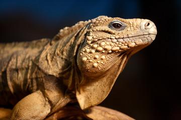 Detail of iguana
