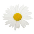 White daisy camomile flower on a white background