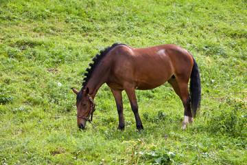 Пасущийся гнедой конь