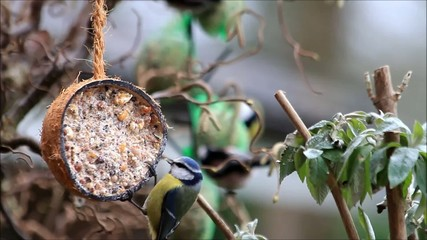 coconut shell with fat food for birds, blue tit