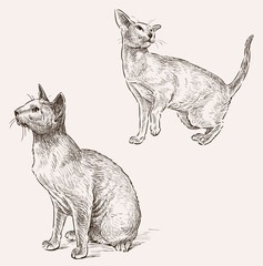 sphynx cat sketches