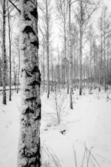 Winter birch tree forest in vertical view