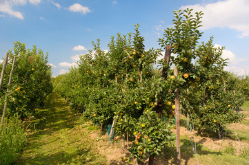 Low apple trees