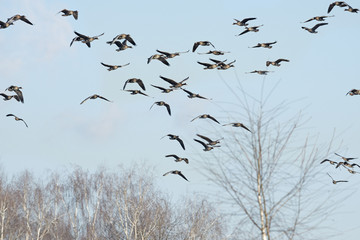 a flock of geese Anser albifrons
