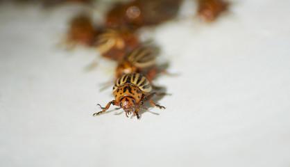 many colorado bugs crawling