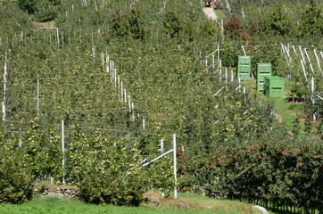 piante di mela