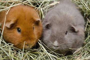 Kuschel-Schweinchen im Heu