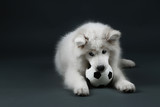 Lovable Samoyed dog playing with ball on dark background poster