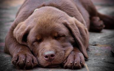 Sleeping chocolate labrador puppy