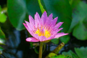 A beautiful pink waterlily or lotus flower in pond with bee