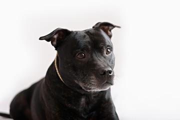 staffie portrait. Also known as stafforshire terrier.